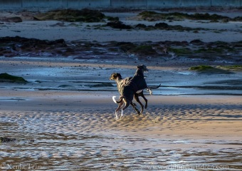 two whippets dancing on the tidal sands
