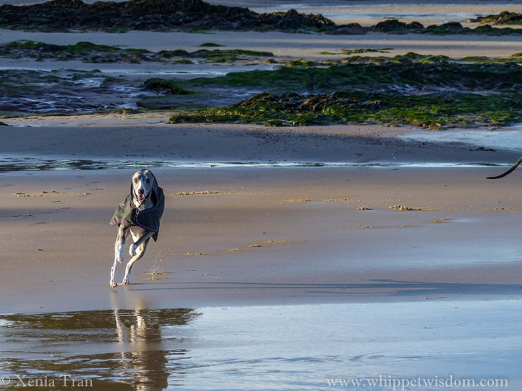 a blue whippet in a black winter jacket leaping across the tidal sands