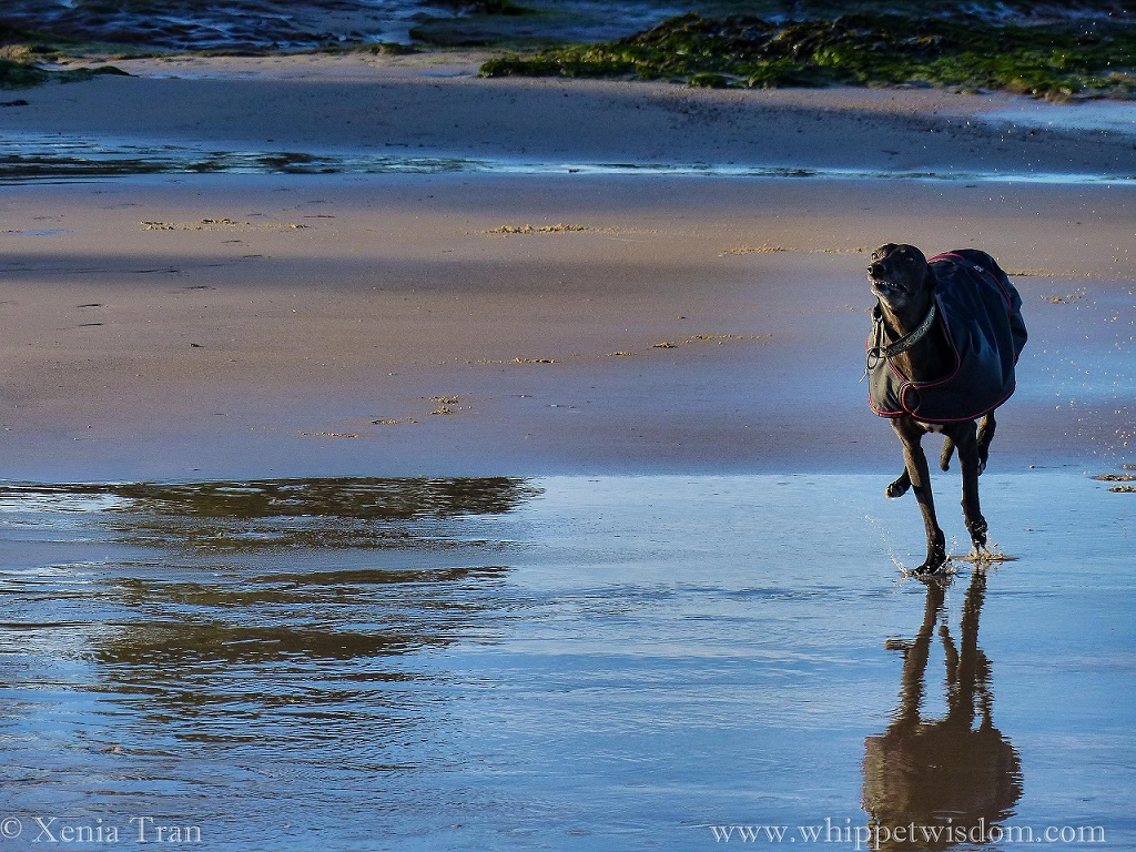 a black whippet in a black winter jacket running across tidal pools