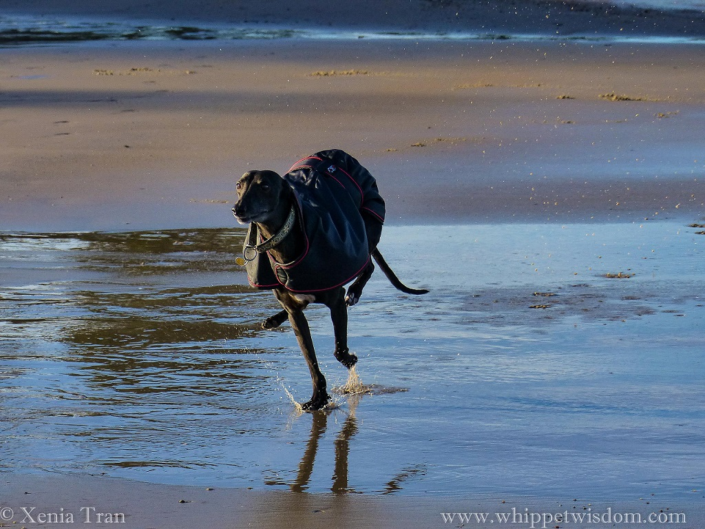 a black whippet in a black winter jacket leaping across tidal pools