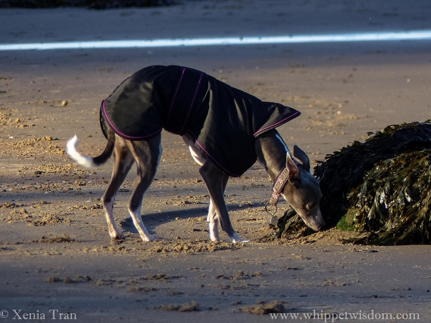 a blue whippet in a winter jacket sniffing seaweed on tidal sands