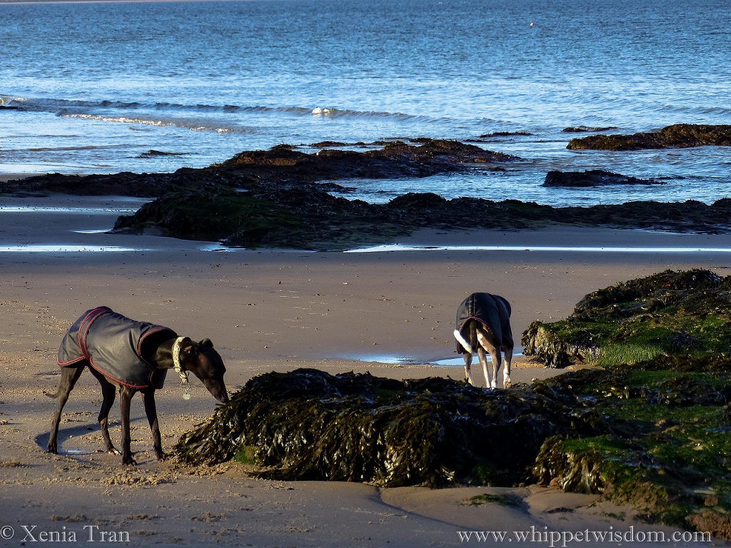 two whippets in a winter jackets sniffing seaweed on tidal sands