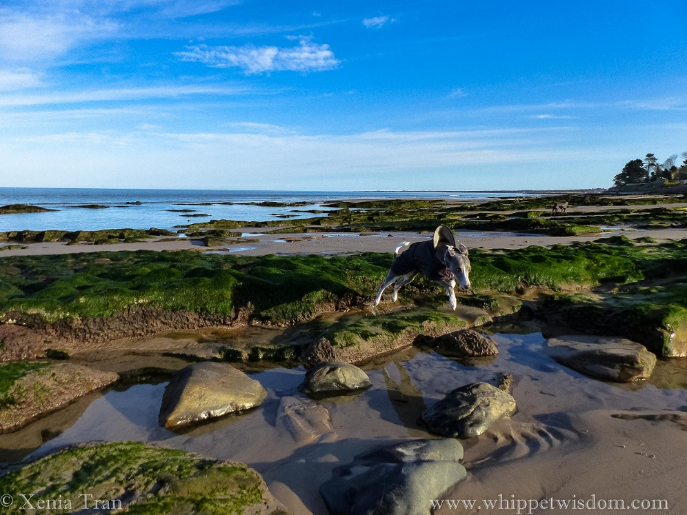 a blue whippet in a winter jacket leaping across a rock pool at low tide