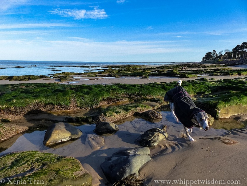 a blue whippet in a winter jacket landing on the sand after leaping across a rock pool at low tide