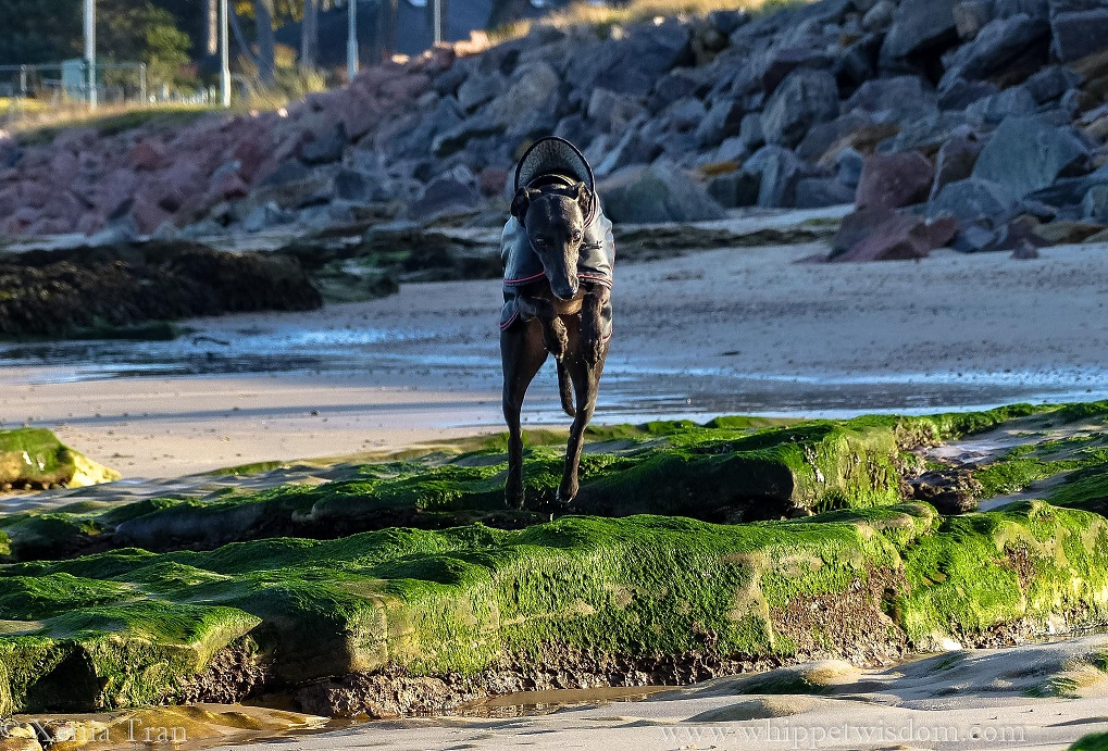 a black whippet in a black winter jacket leaping across a rockpool