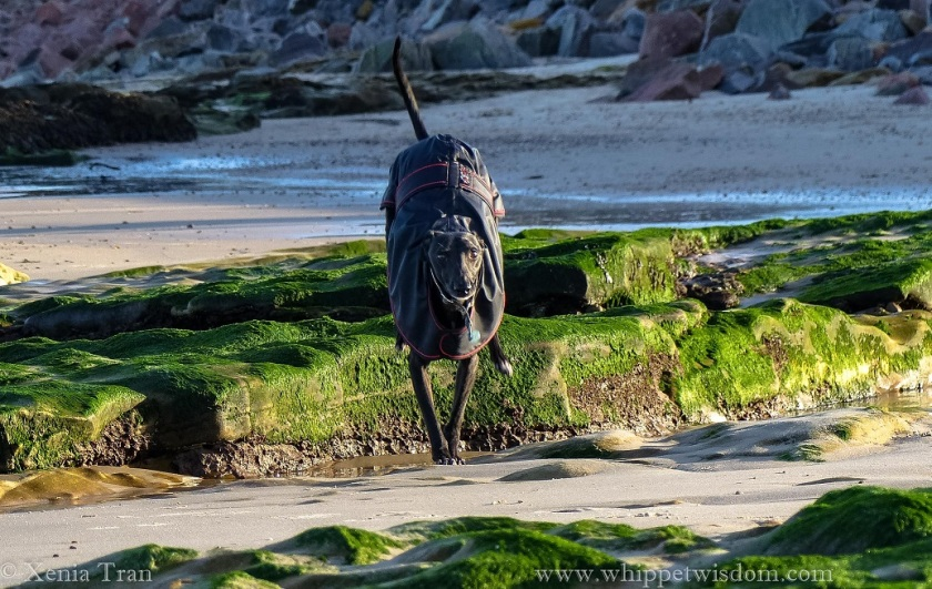 a black whippet in a black winter jacket landing on the sand after leaping across a rockpool