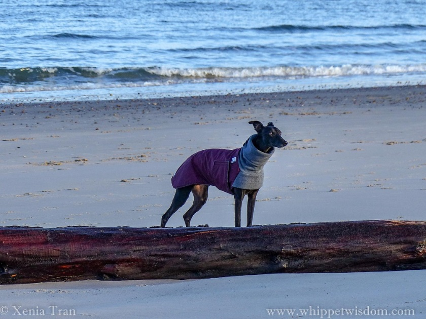 a black whippet looking into the distance from behind a large driftwood tree on the beach