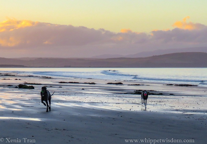 two whippets in winter jackets running on the beach with balls in their mouths at twilight