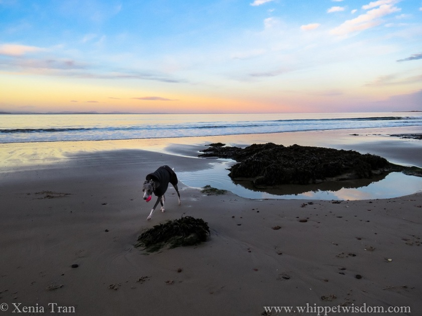 a blue whippet in a winter jacket striding across the tidal sands with a pink ball at twilight