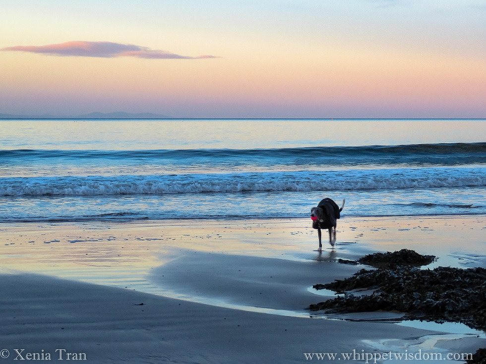 a blue whippet in a winter jacket running with a pink ball on the beach at twilight