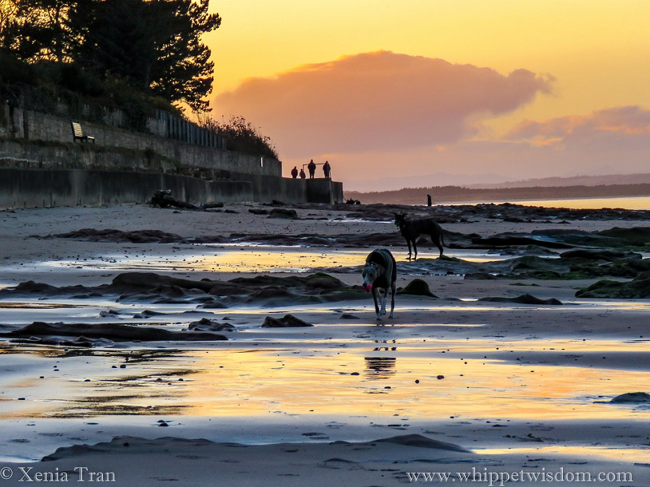 two whippets in winter jackets on tidal sands at sunset