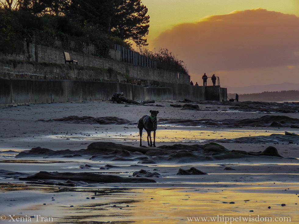 a black whippet in a winter jacket with a ball in his mouth standing on tidal sands at sunset