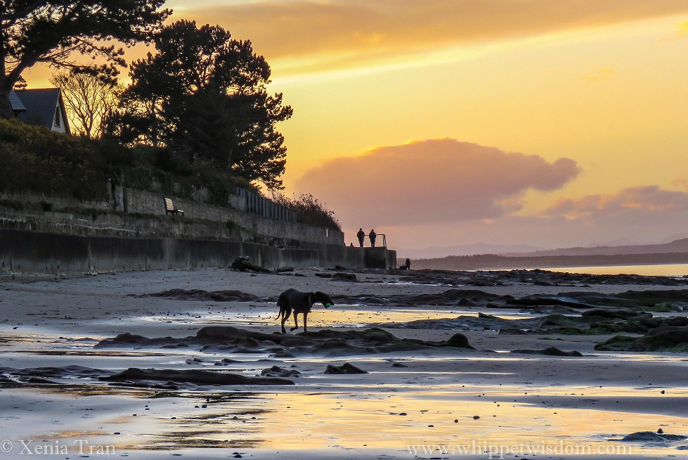 a black whippet in a winter jacket with a ball in his mouth walking on tidal sands at sunset