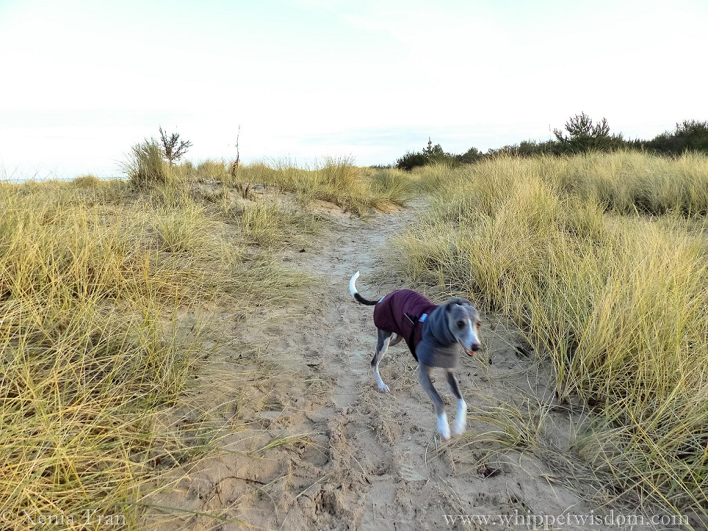 blue whippet in a winter jacket running through the dunes with morning frost on bent grass