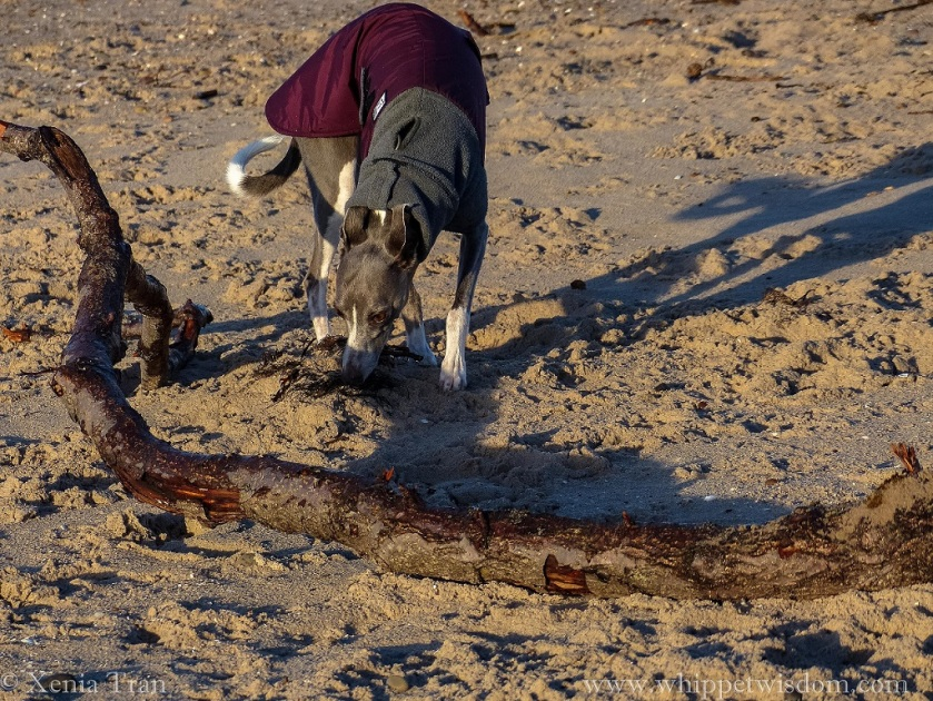 a blue whippet in a maroon winter jacket sniffing leaves and driftwood on the beach