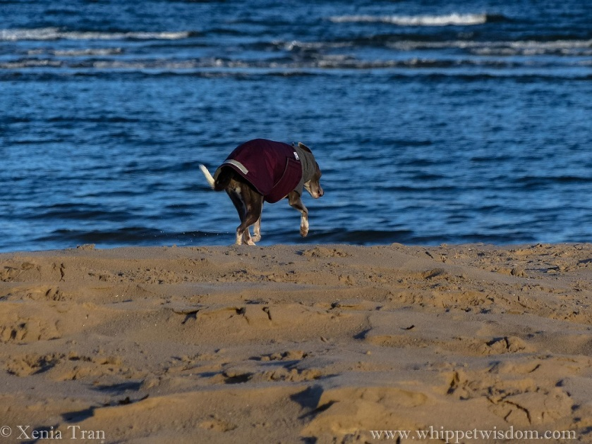 a blue whippet in a maroon and grey winter jacket walking across the beach towards the sea