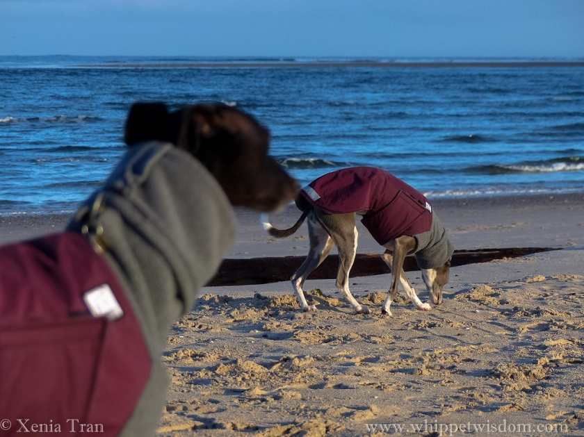 a black whippet in a maroon winter jacket in the foreground and a blue whippet in a maroon winter jacket sniffing the sands beside a driftwood tree on the beach