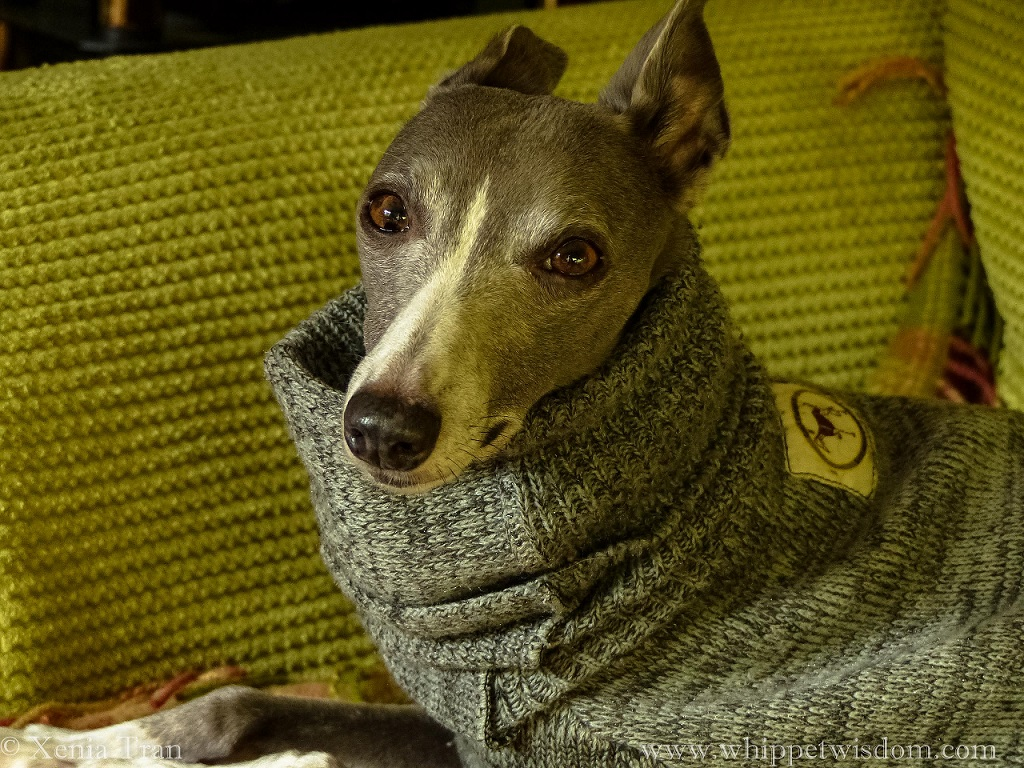 a blue whippet in a grey sweater on a green sofa, smiling towards the camera