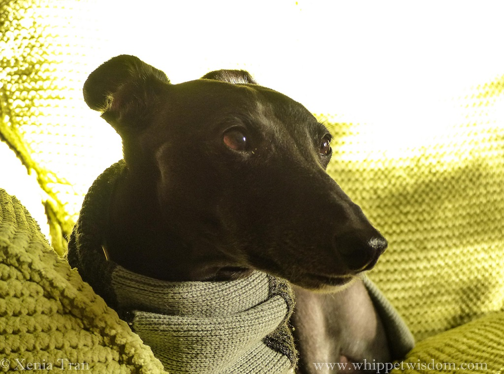 close up shot of a black whippet in a grey sweater on a green sofa