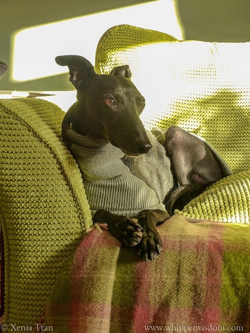 a black whippet in a grey sweater on a green sofa, catching the sun