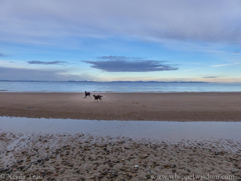 two whippets in winter jackets playing on a sandbar on the Moray Firth, a golden glow from the rising sun across the water