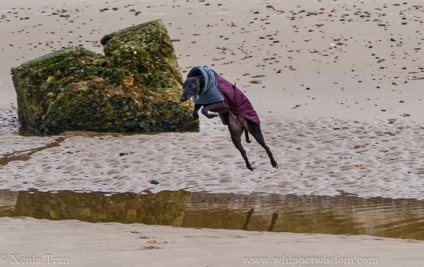 a black whippet in a maroon and grey winter jacket leaping across a tidal lagoon