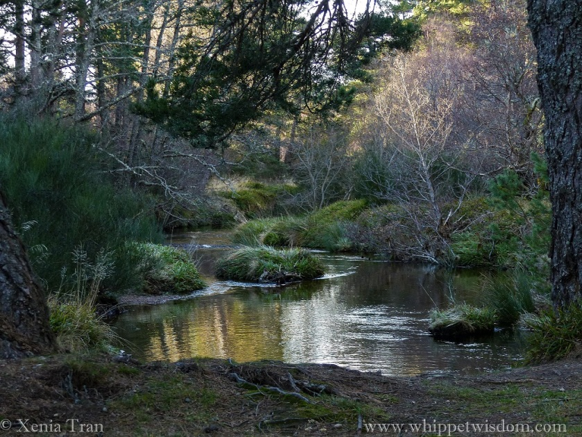 a burn flows between pine and leafless birch in dappled light