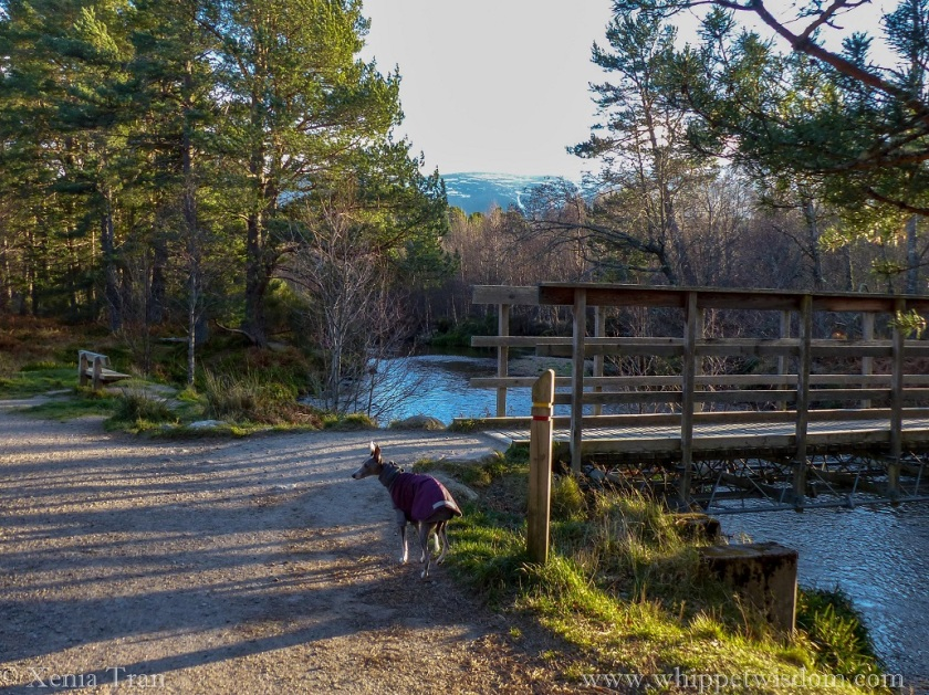 a blue whippet in a maroon winter jacket standing behind a signpost beside a wooden bridge across the burn, looking to her left