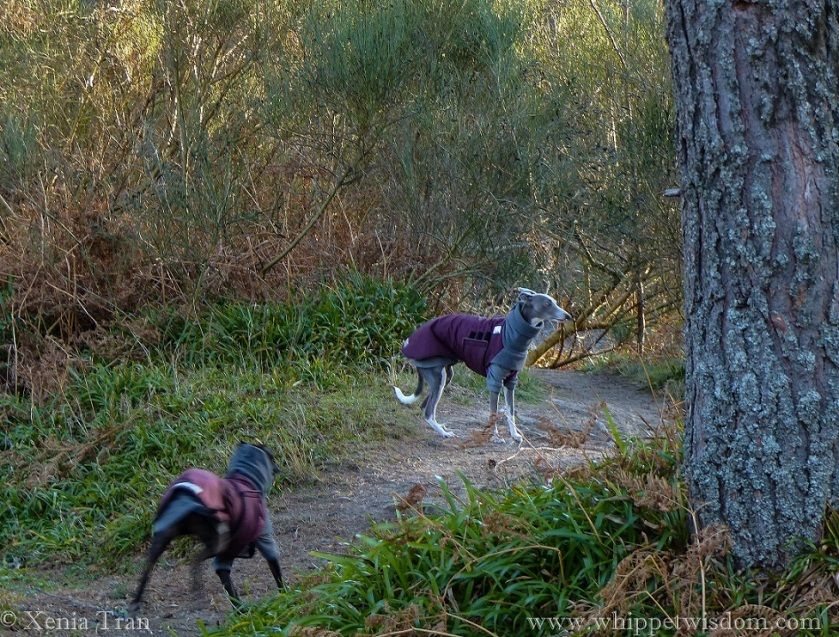 two whippets in maroon and grey winter jackets on a forest trail by the flowing burn