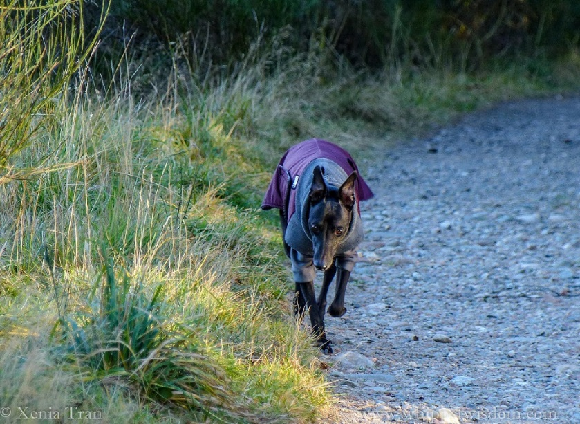 black whippet in a maroon and grey winter jacket walking on a forest trail