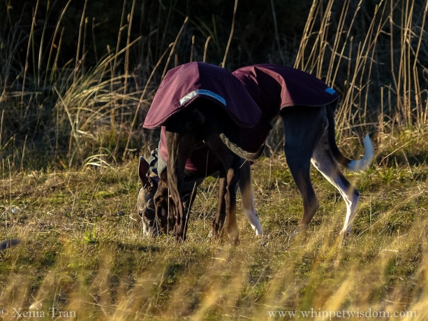 two whippets in winter jackets bending down to sniff the ground between bent grass
