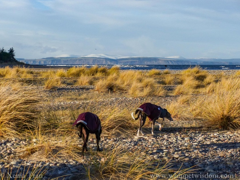 two whippets in winter jackets walking towards the beach across shingle between bent grass