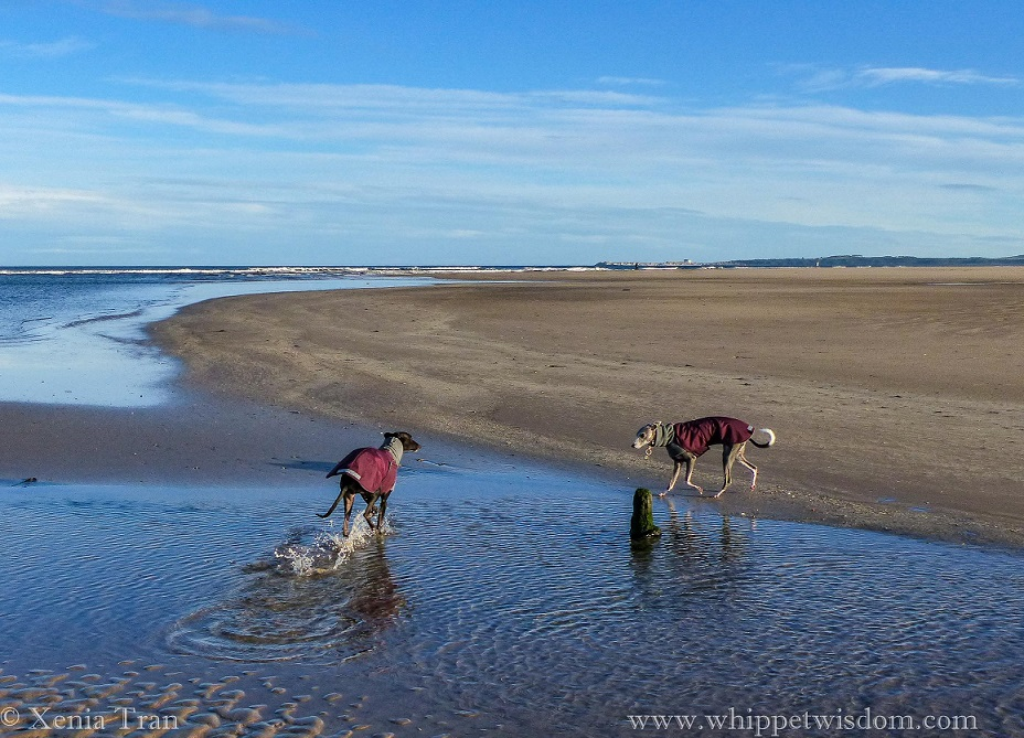 two whippets in maroon winter jackets walking towards each other on the edge of a tidal lagoon
