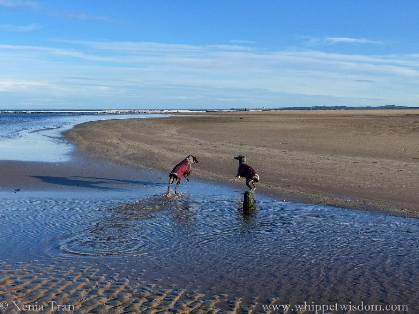 two whippets in maroon winter jackets leaping towards each other on the edge of a tidal lagoon