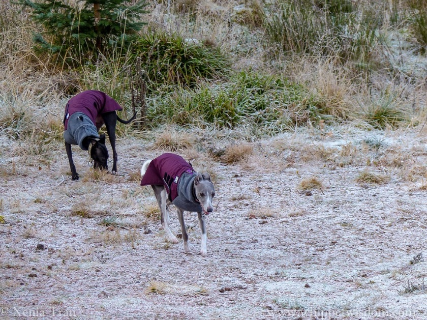two whippets in winter jackets on a frost-covered forest trail
