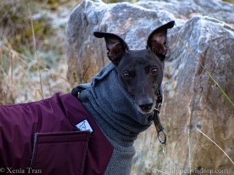 close up shot of a black whippet in a maroon and grey winter jacket on a forest trail, smiling at the camera