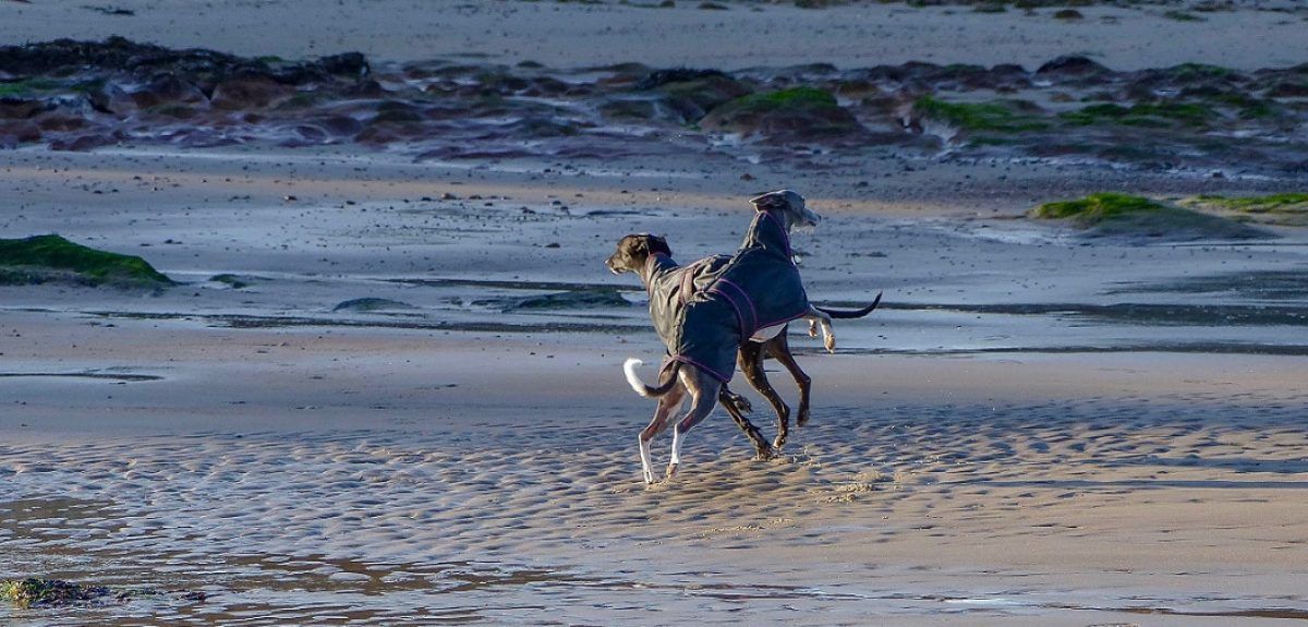 Whippet Wisdom – a Highland Journey