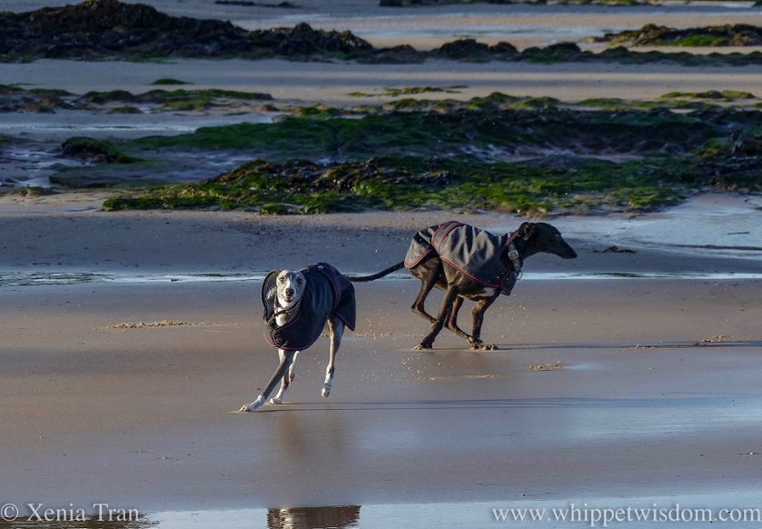 two whippets in black winter jackets running on tidal sands with kelp and exposed rocks in the background