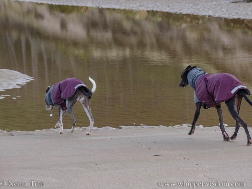 two whippets in winter jackets striding across the sands towards a tidal lagoon