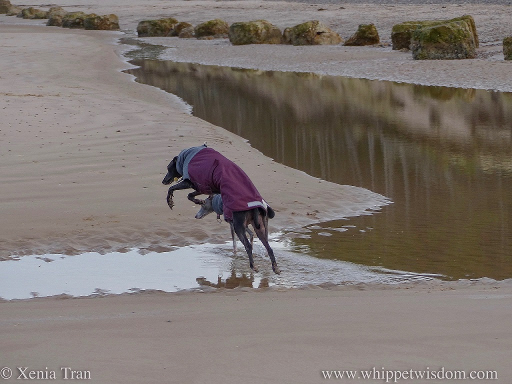 a blue whippet walking through a shallow tidal lagoon and a black whippet leaping across the water beside her