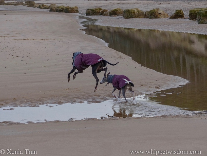 a blue whippet walking through a shallow tidal lagoon and a black whippet suspended in mid-air above the water beside her