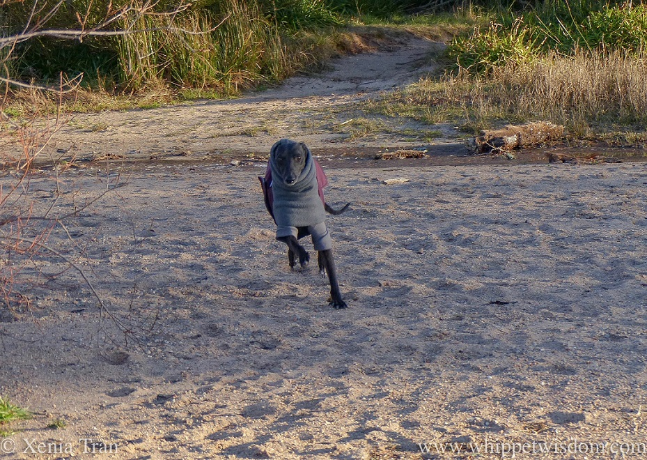 a black whippet in a winter jacket and thermals running onto the lochside beach from the forest