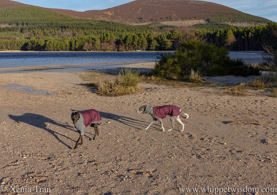 two whippets in maroon winter jackets and thermals on the beach by Loch Morlich
