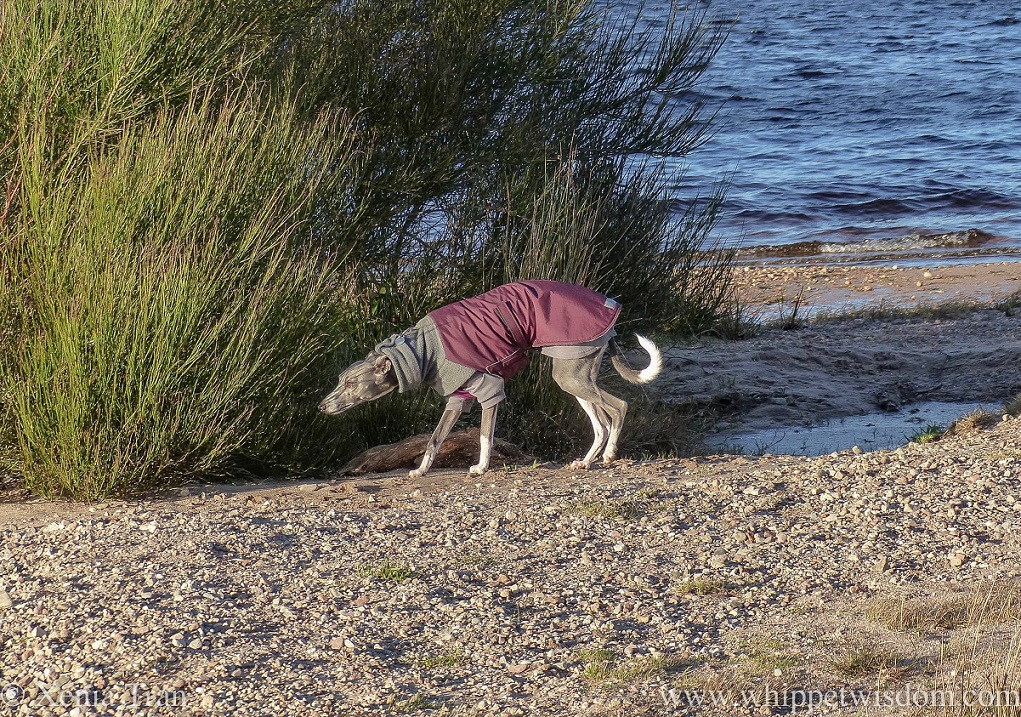 a blue whippet in a maroon winter jacket and thermals sniffing an evergreen shrub on the loch shore.