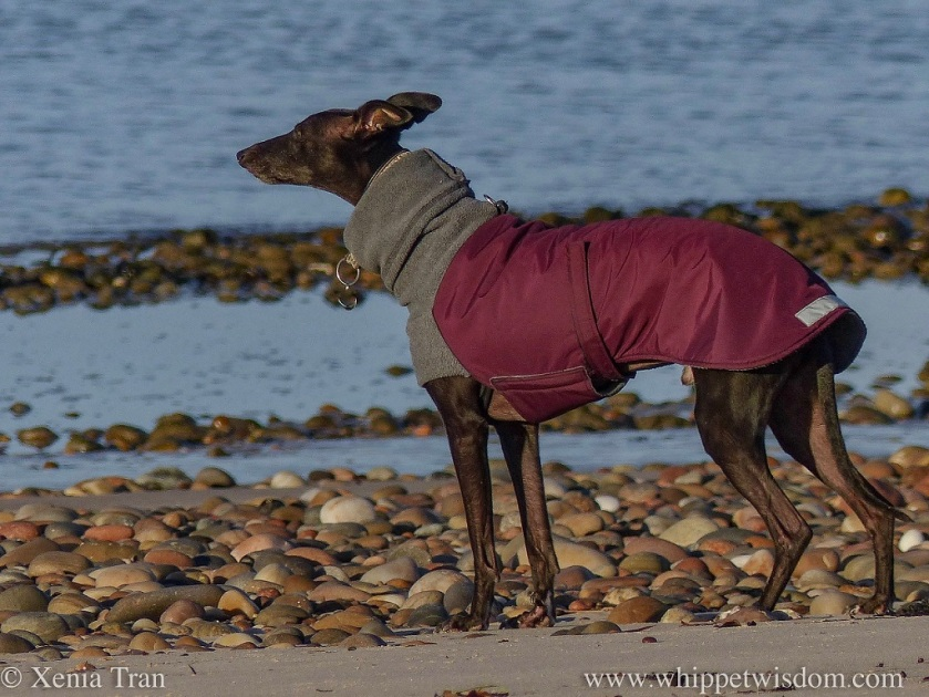 a black whippet in a maroon and grey winter jacket enjoying the breeze along the shingle shore
