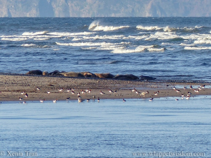 seals sleeping on a sandbar with oystercatchers and seagulls feeding along the shore