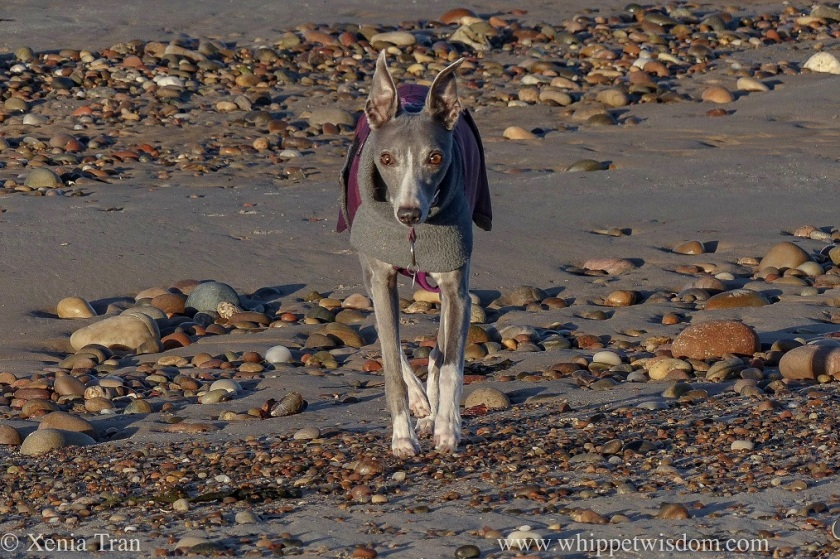 a blue whippet in a winter jacket walking towards the camera across tidal sands and shingle
