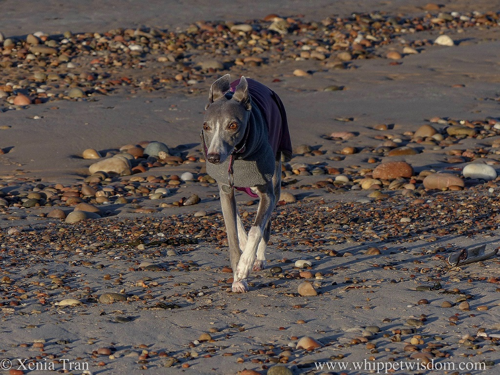 a blue whippet in a grey and maroon winter jacket walking across tidal sands and shingle