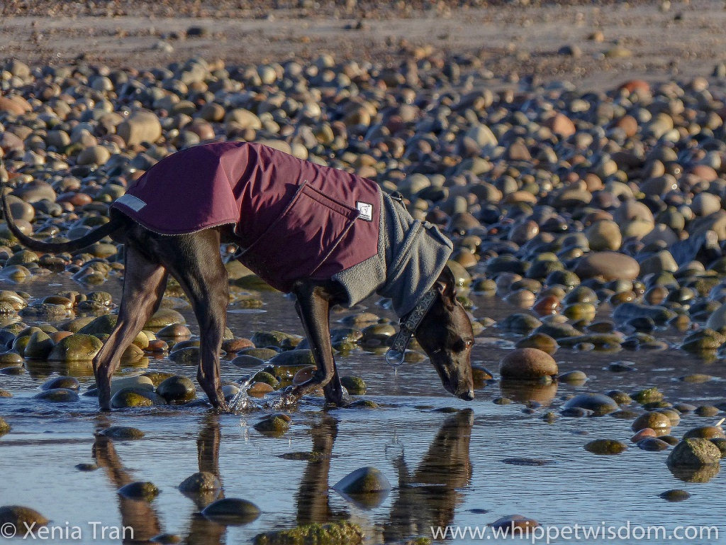 close up of a black whippet in a maroon and grey winter jacket walking through a tidal pool