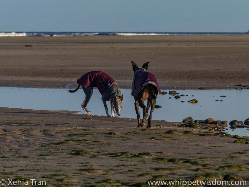 two whippets in maroon winter jackets by a tidal lagoon